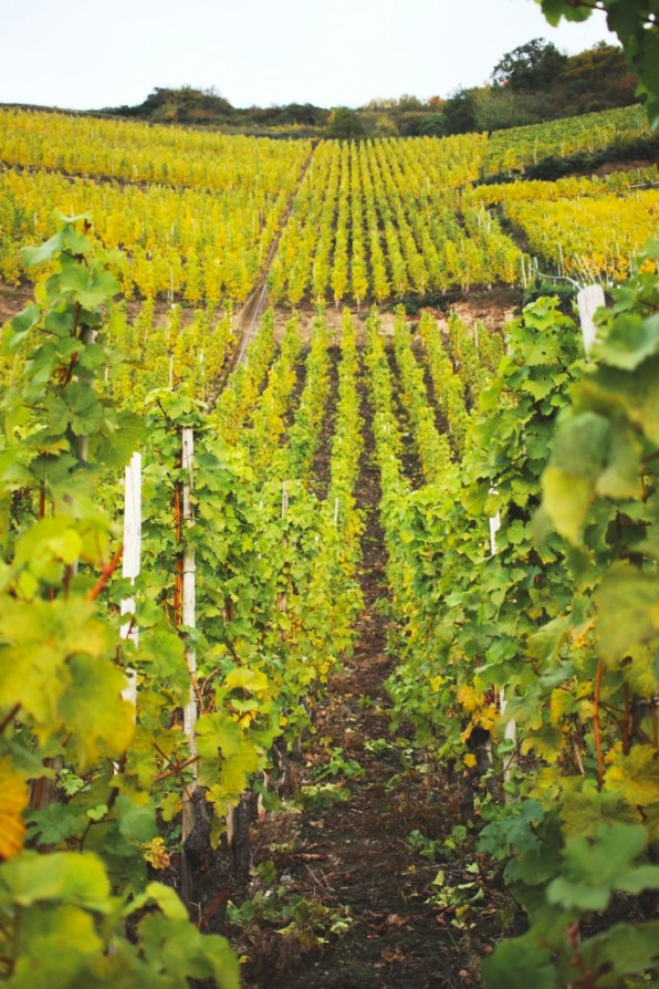 cc5bf-vineyard